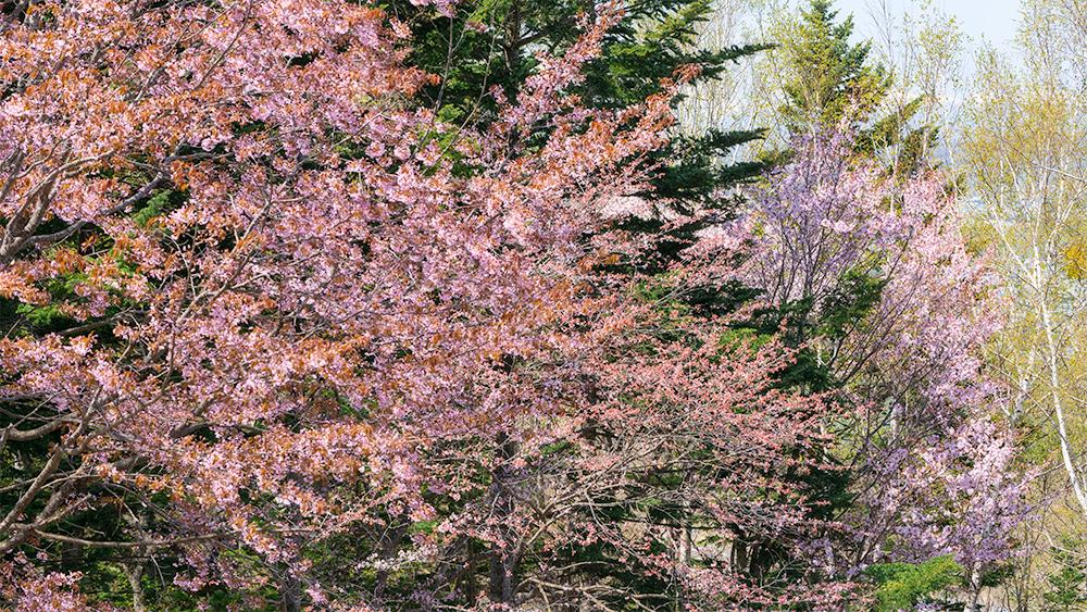 北見フラワーパークの桜