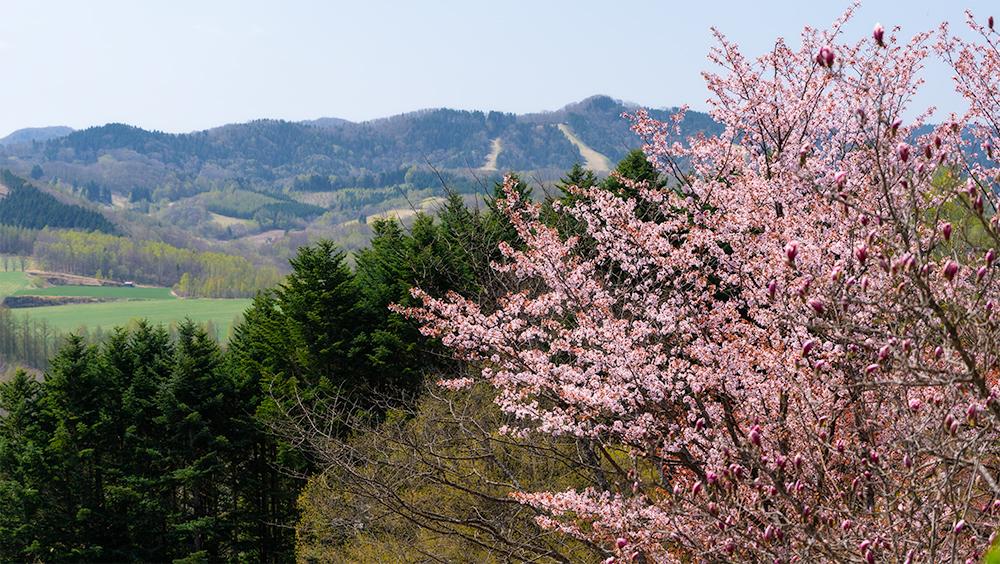 北見フラワーパラダイスの桜 まとめ