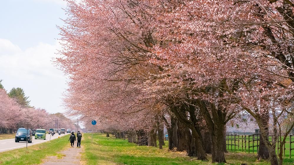 二十間道路桜並木の見頃と読み方