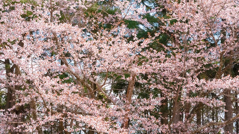 二十間道路桜並木 まとめ