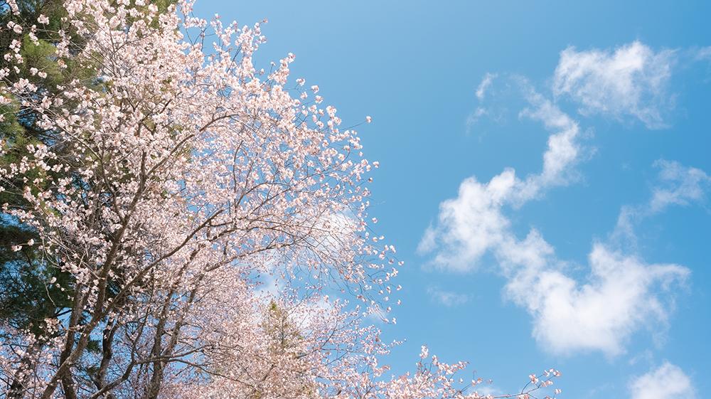二十間道路桜並木撮影のポイントは