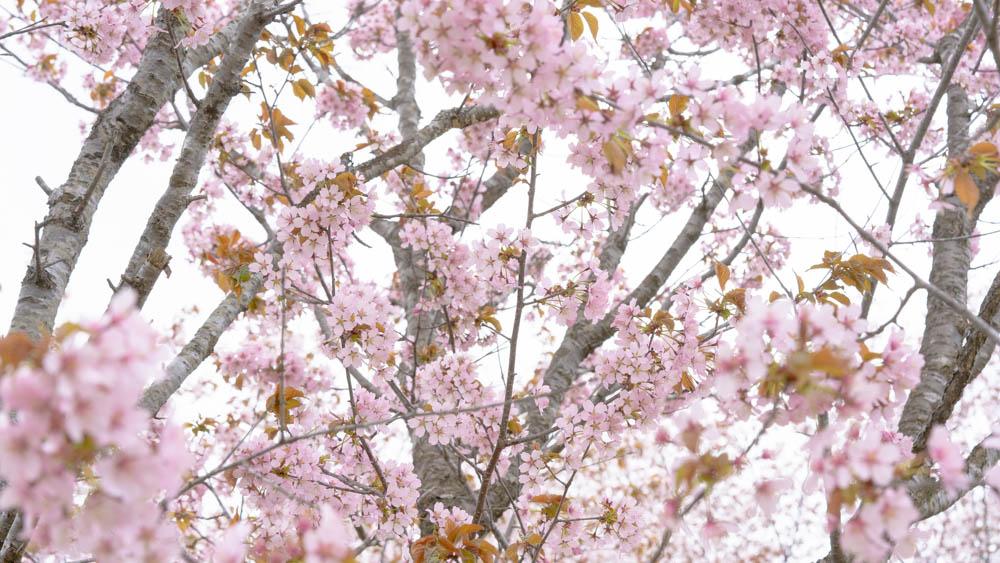 にわ山森林自然公園の桜動画