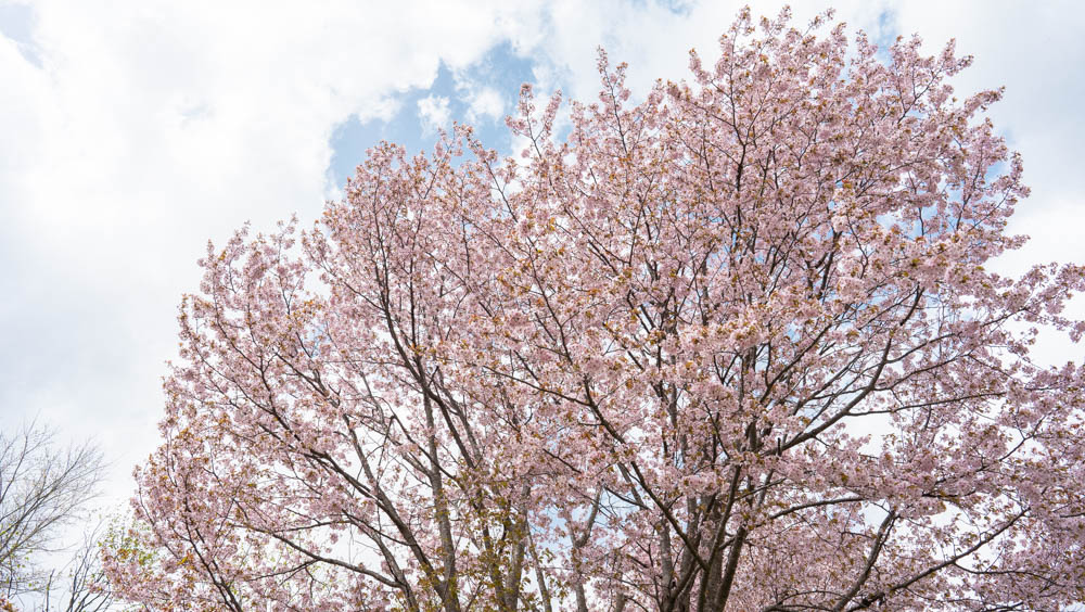 にわ山森林自然公園の桜まとめと名物
