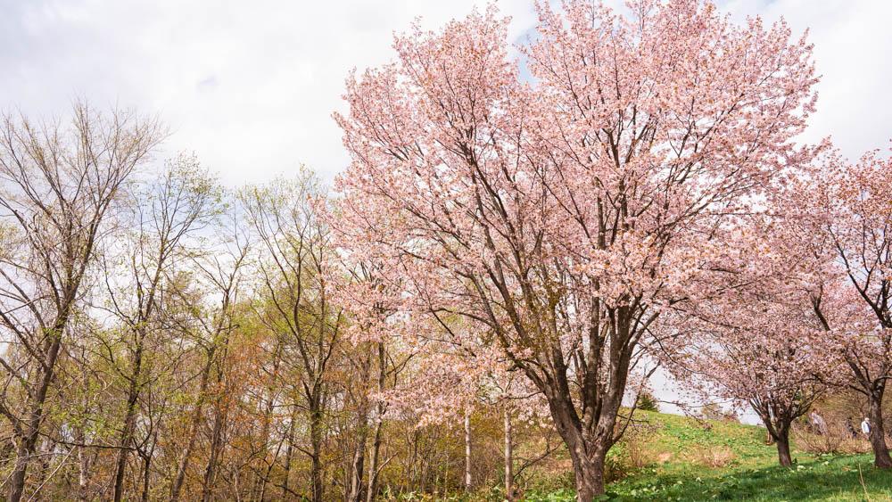 にわ山森林公園の桜