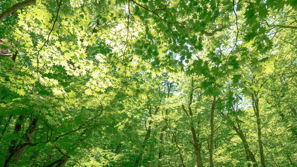 奥入瀬渓流の新緑ベストシーズンはいつ?