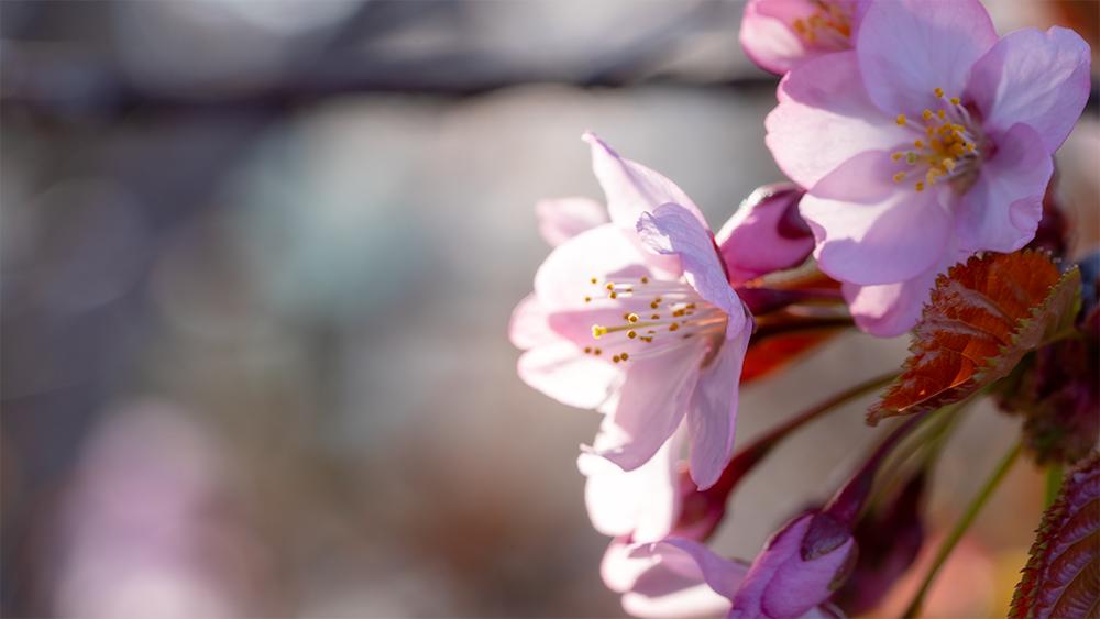 清隆寺の桜 撮影のポイント