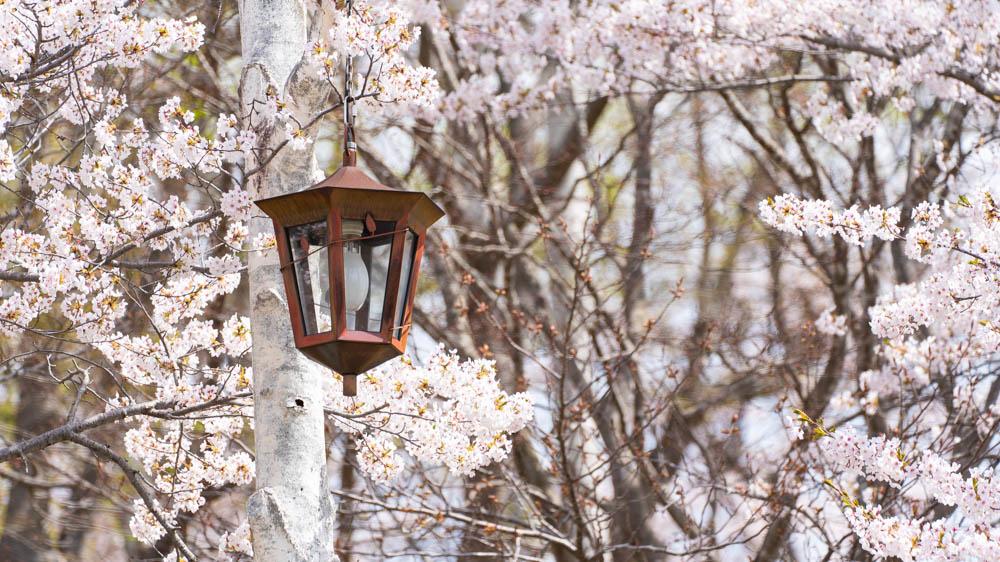 東明公園の桜 ライトアップ情報