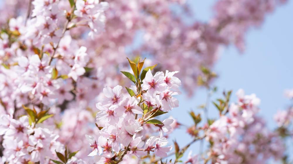 東明公園の桜 撮影のポイント