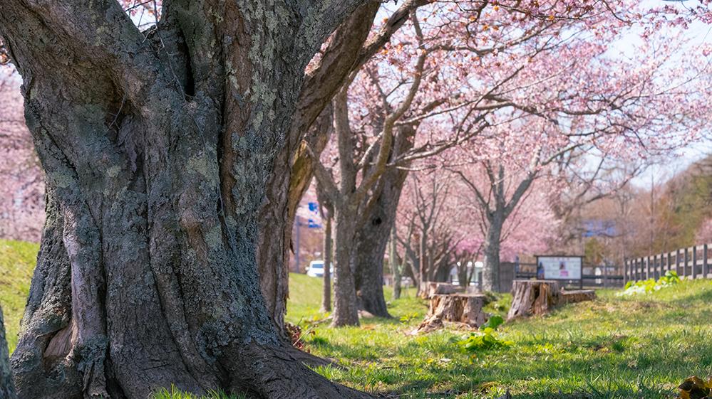 優駿さくらロードの桜 まとめ