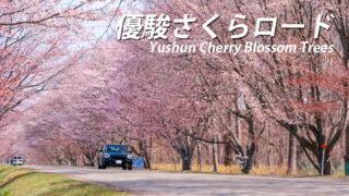 優駿さくらロードの開花時期と見頃【浦河町の桜スポット】